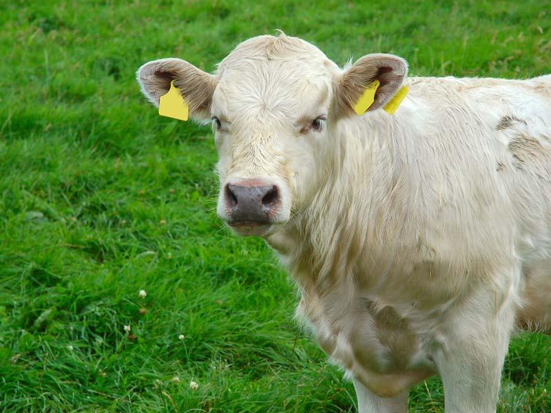 veehouderij-grasland